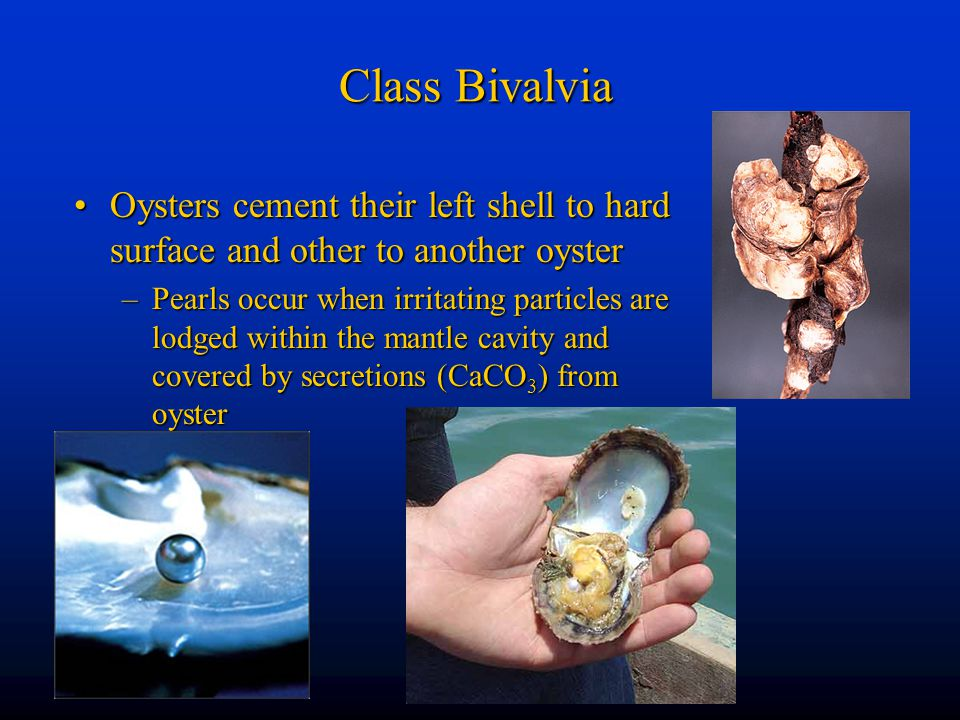 Class Bivalvia Oysters cement their left shell to hard surface and other to another oyster.