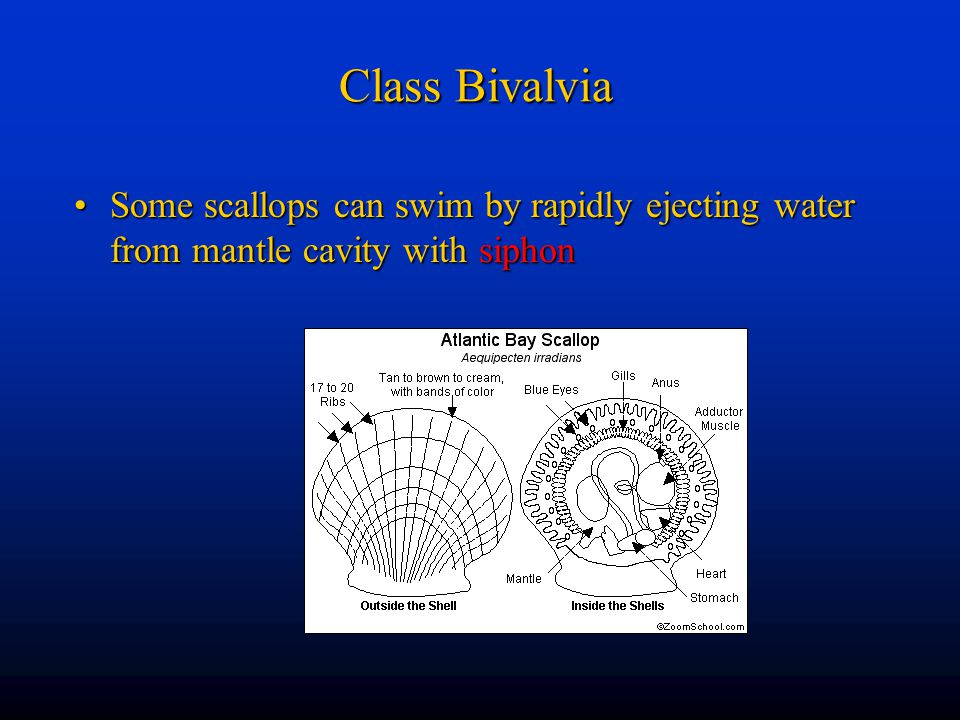Class Bivalvia Some scallops can swim by rapidly ejecting water from mantle cavity with siphon