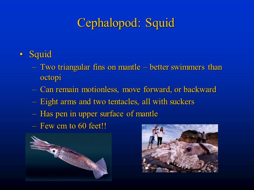 Cephalopod: Squid Squid