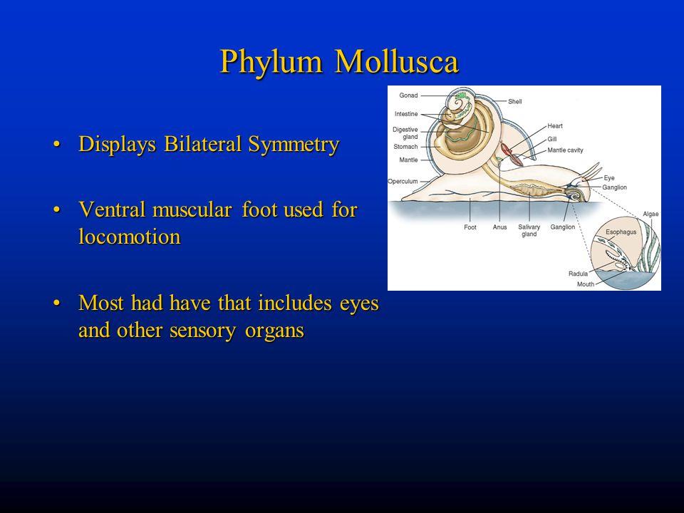 Phylum Mollusca Displays Bilateral Symmetry