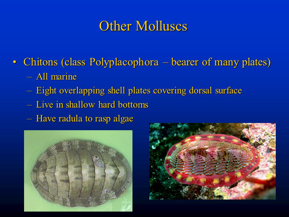 Other Molluscs Chitons (class Polyplacophora – bearer of many plates)
