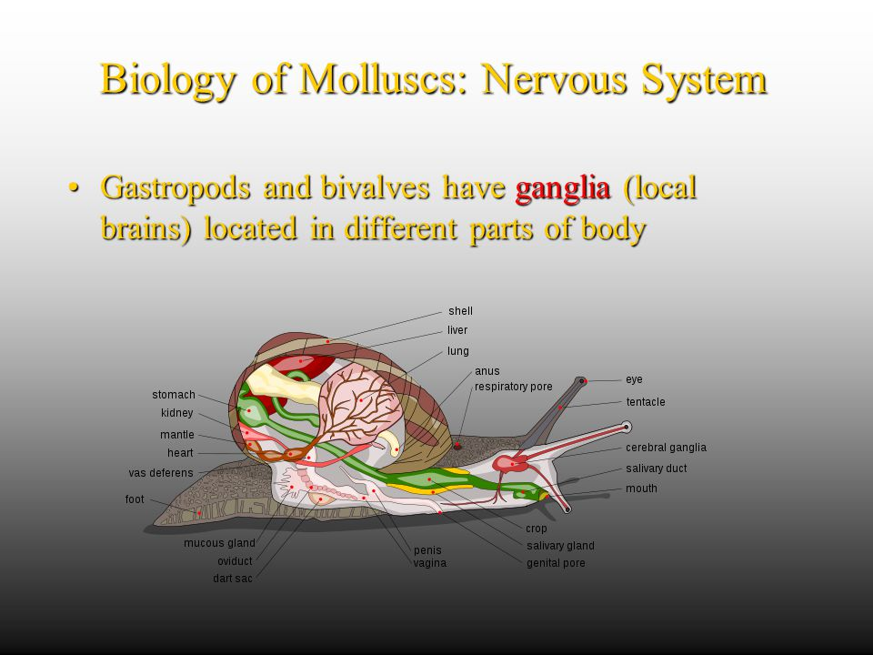 Biology of Molluscs: Nervous System