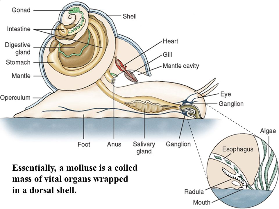 Essentially, a mollusc is a coiled mass of vital organs wrapped
