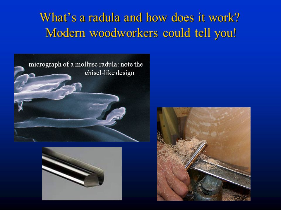 What's a radula and how does it work Modern woodworkers could tell you!