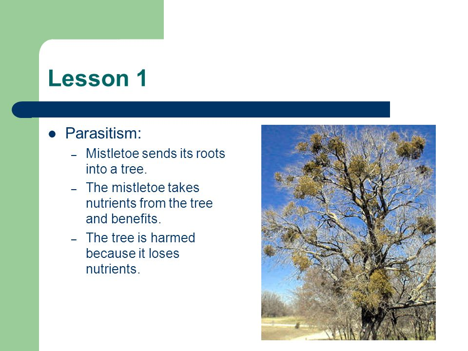 Lesson 1 Parasitism: Mistletoe sends its roots into a tree.