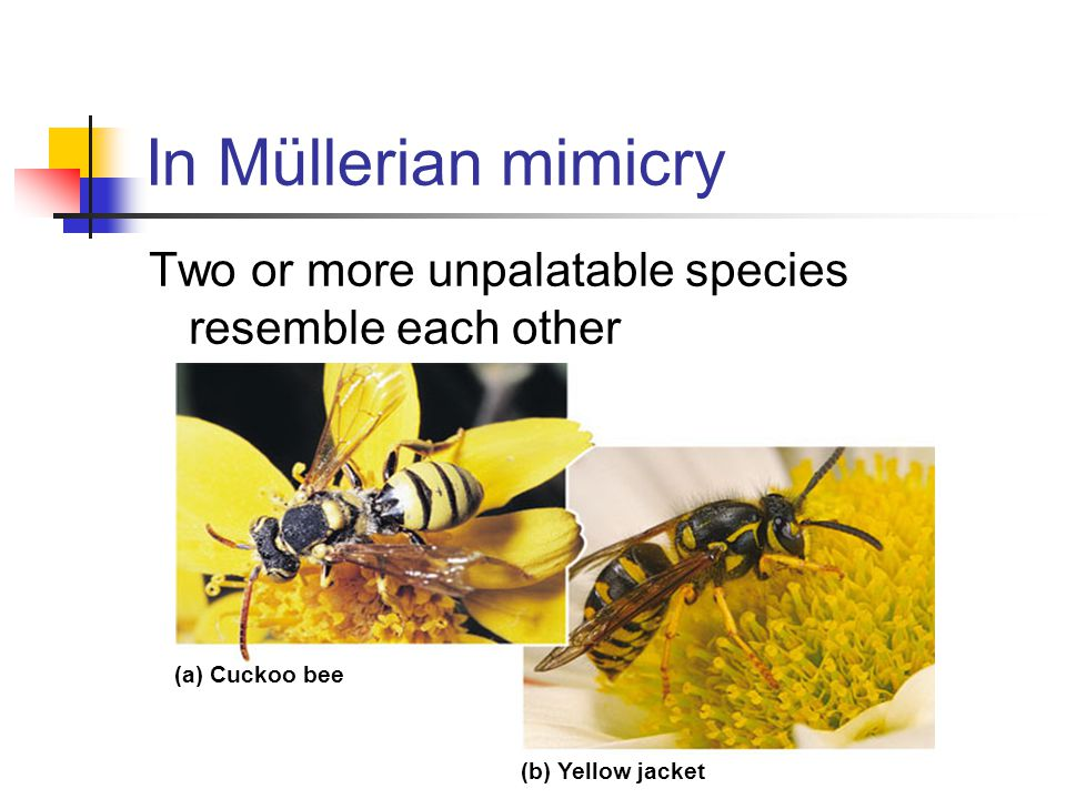 In Müllerian mimicry Two or more unpalatable species resemble each other.