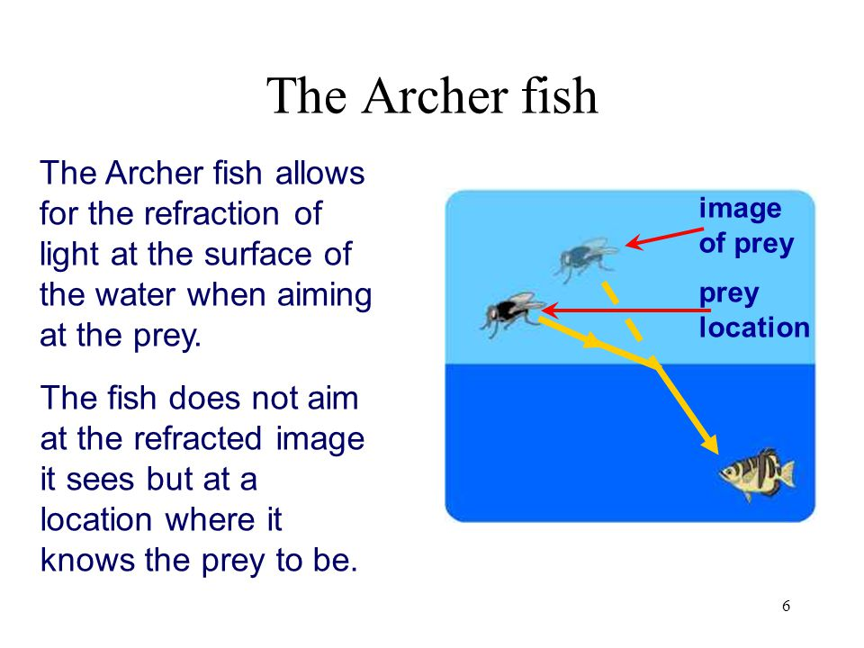 The Archer fish The Archer fish allows for the refraction of light at the surface of the water when aiming at the prey.