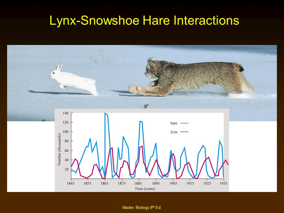 Lynx-Snowshoe Hare Interactions
