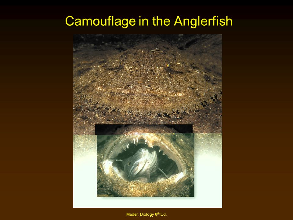 Camouflage in the Anglerfish