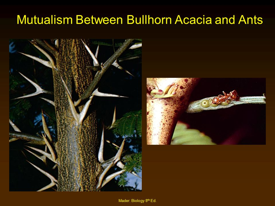 Mutualism Between Bullhorn Acacia and Ants