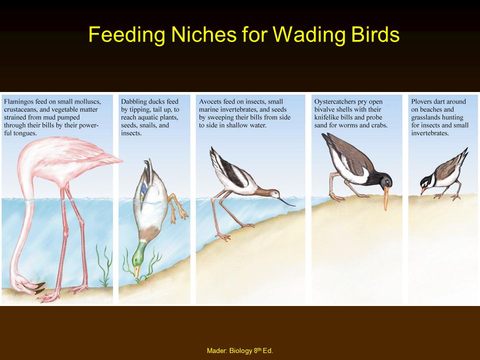 Feeding Niches for Wading Birds