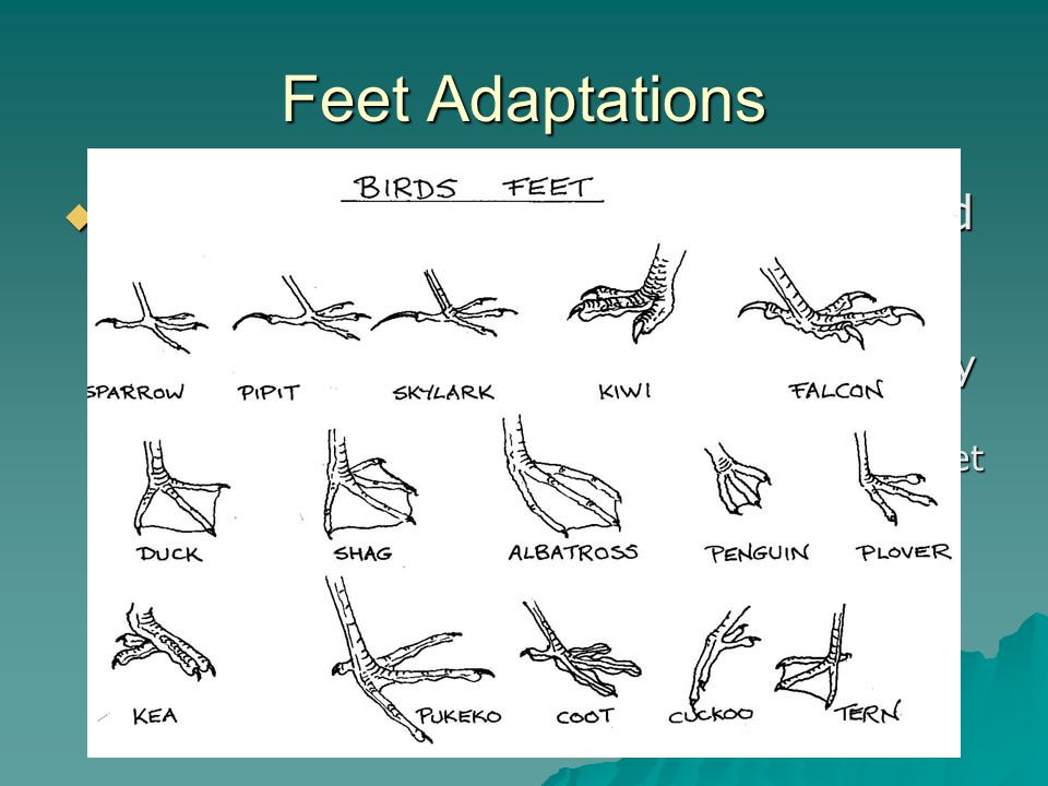 Feet Adaptations There are several lengths of legs and types of feet found on sea birds.