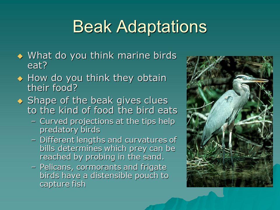 Beak Adaptations What do you think marine birds eat
