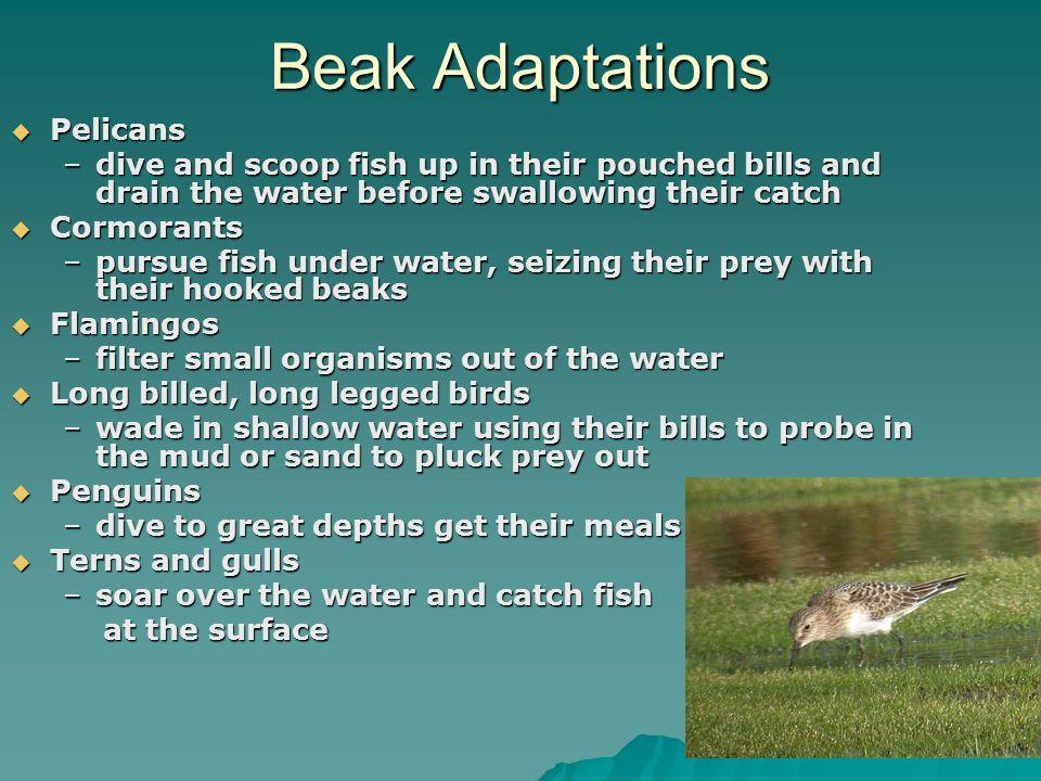 Beak Adaptations Pelicans