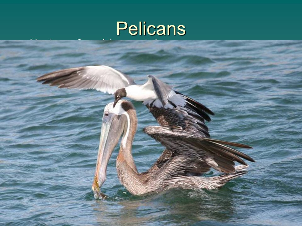 Pelicans Most are found in coastal areas