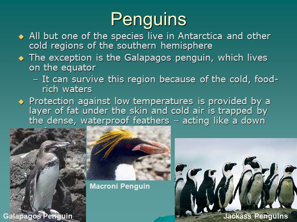 Penguins All but one of the species live in Antarctica and other cold regions of the southern hemisphere.