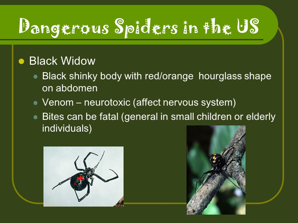 Dangerous Spiders in the US