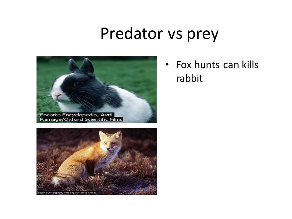 Predator vs prey Fox hunts can kills rabbit
