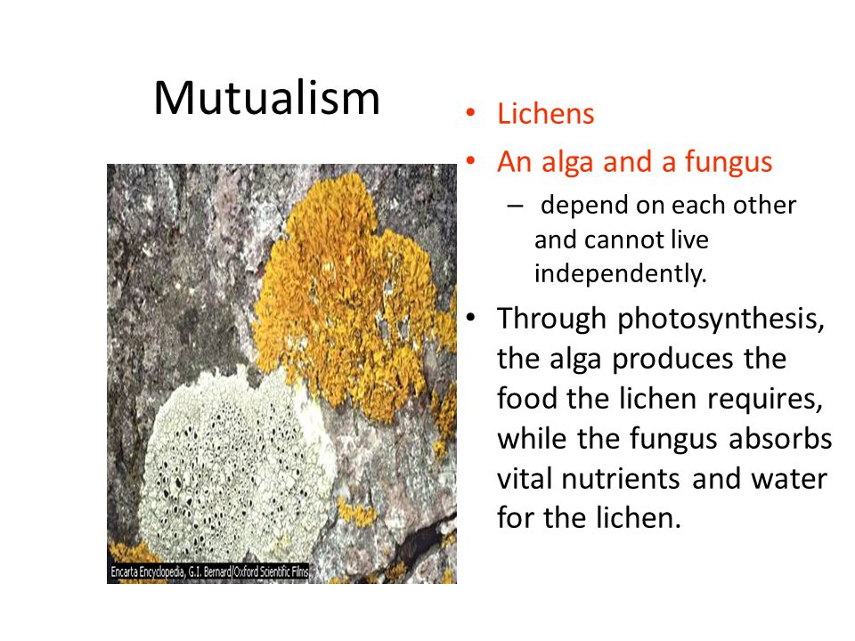 Mutualism Lichens An alga and a fungus