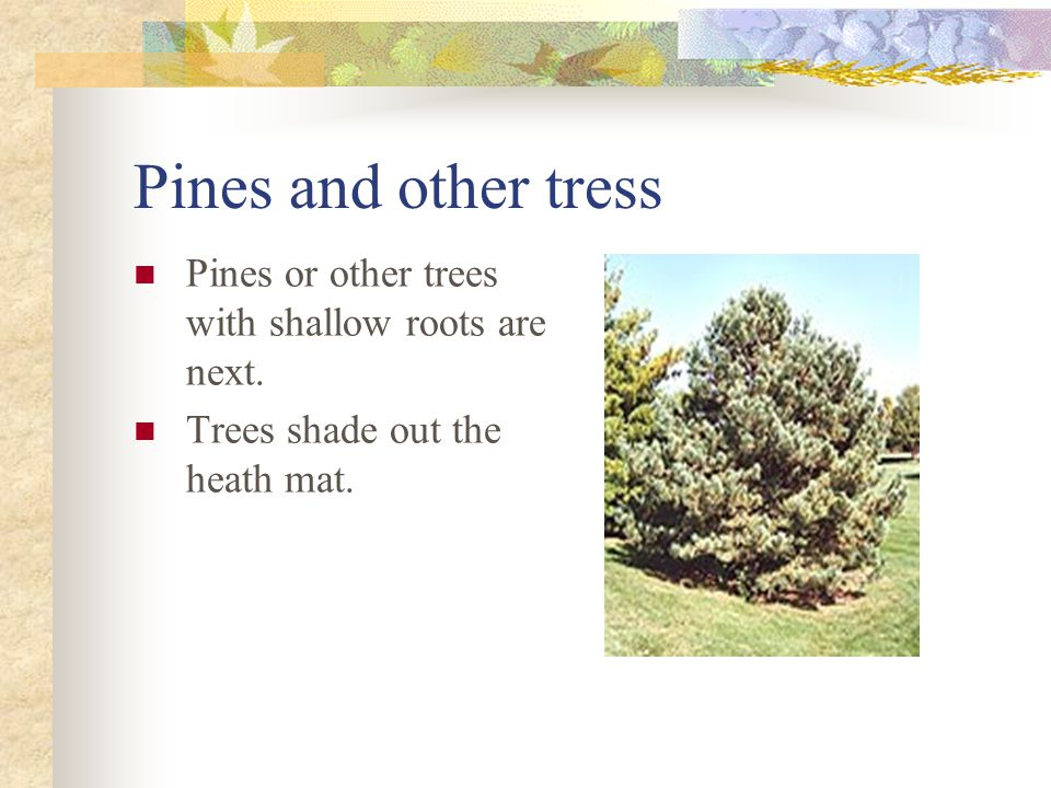Pines and other tress Pines or other trees with shallow roots are next. Trees shade out the heath mat.