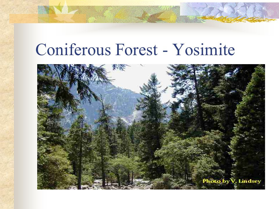 Coniferous Forest - Yosimite