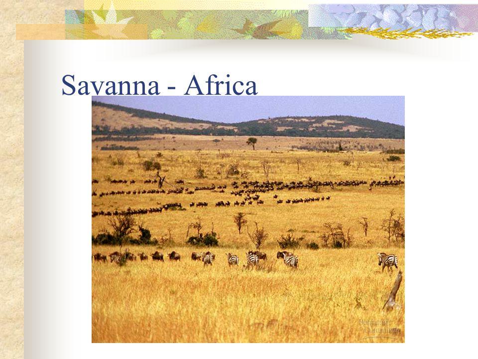 Savanna - Africa