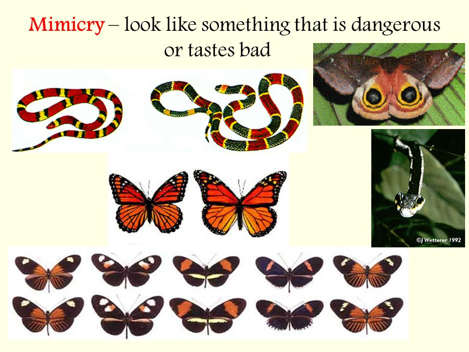 Mimicry – look like something that is dangerous