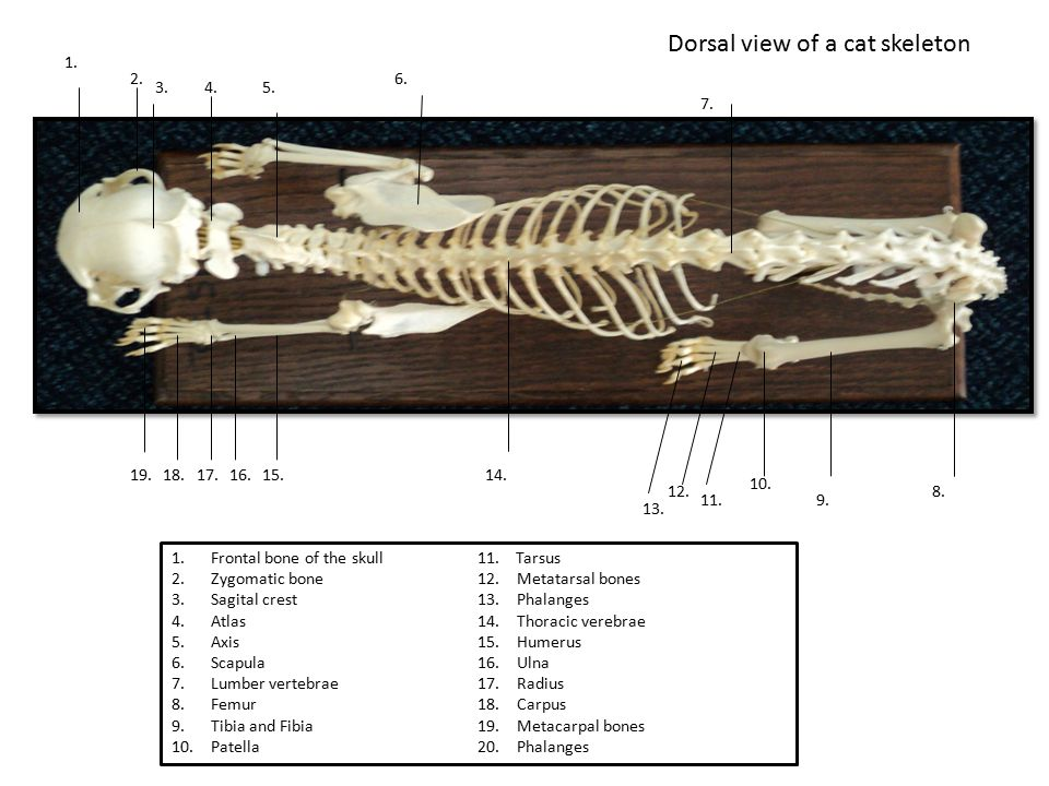 Dorsal view of a cat skeleton