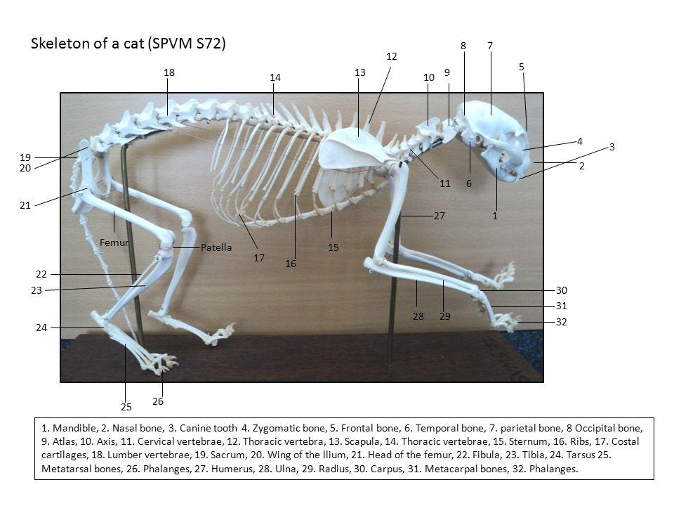 Skeleton of a cat (SPVM S72)
