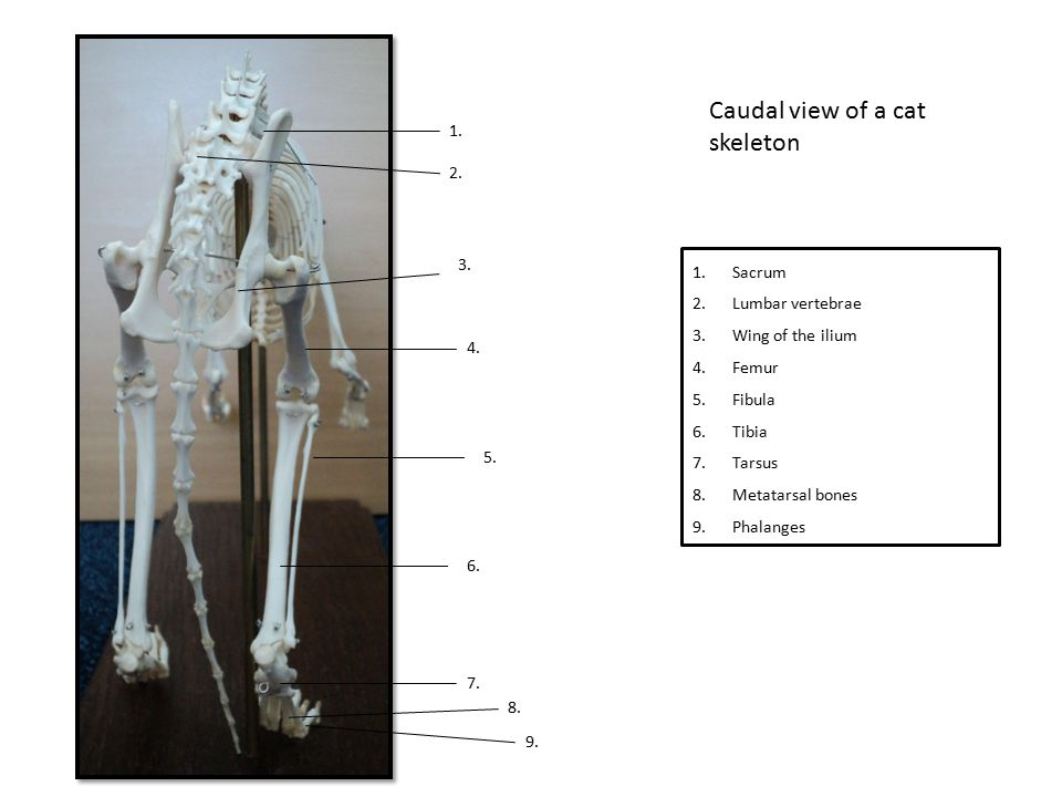 Caudal view of a cat skeleton