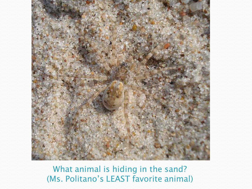 What animal is hiding in the sand. (Ms