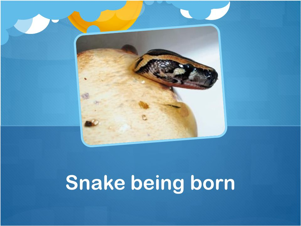 Snake being born