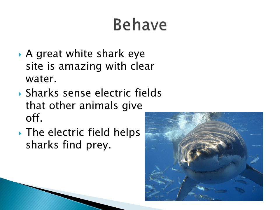 Behave A great white shark eye site is amazing with clear water.