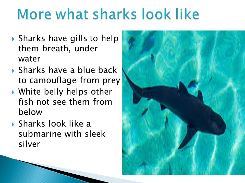 Sharks fierce fish power point by jb ppt video online for Breath like a fish