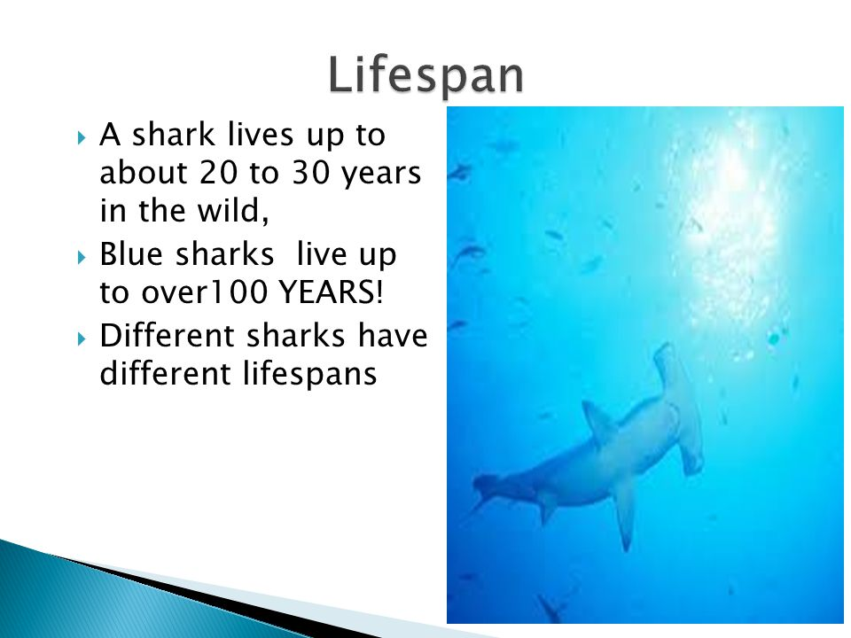 Lifespan A shark lives up to about 20 to 30 years in the wild,