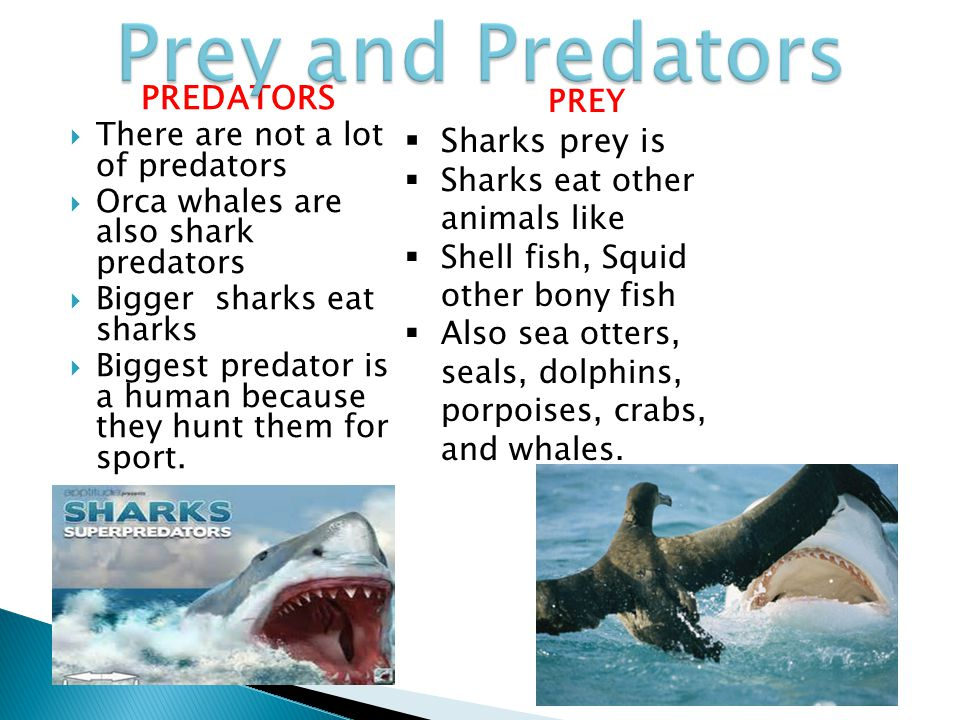 Prey and Predators PREDATORS Sharks prey is PREY