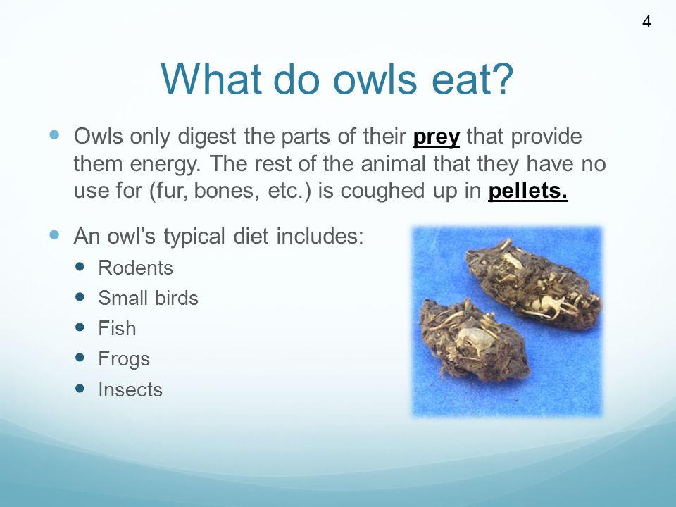 Owls by miss allison ppt video online download for Do owls eat fish