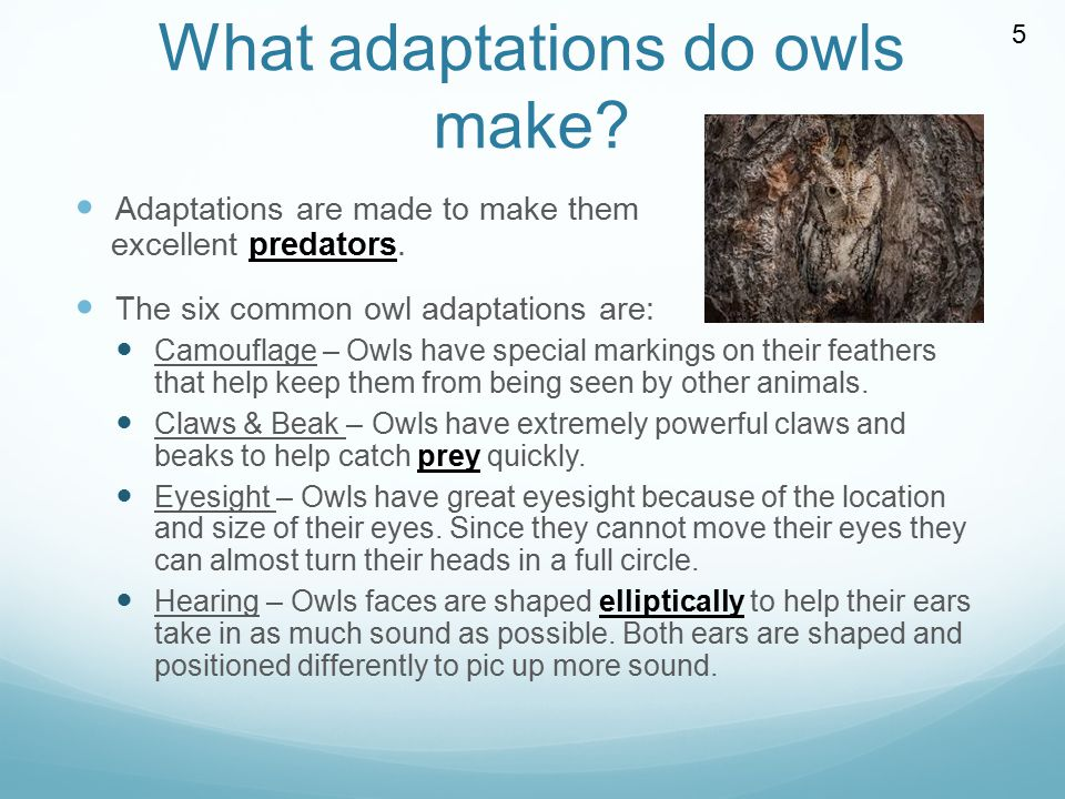 What adaptations do owls make