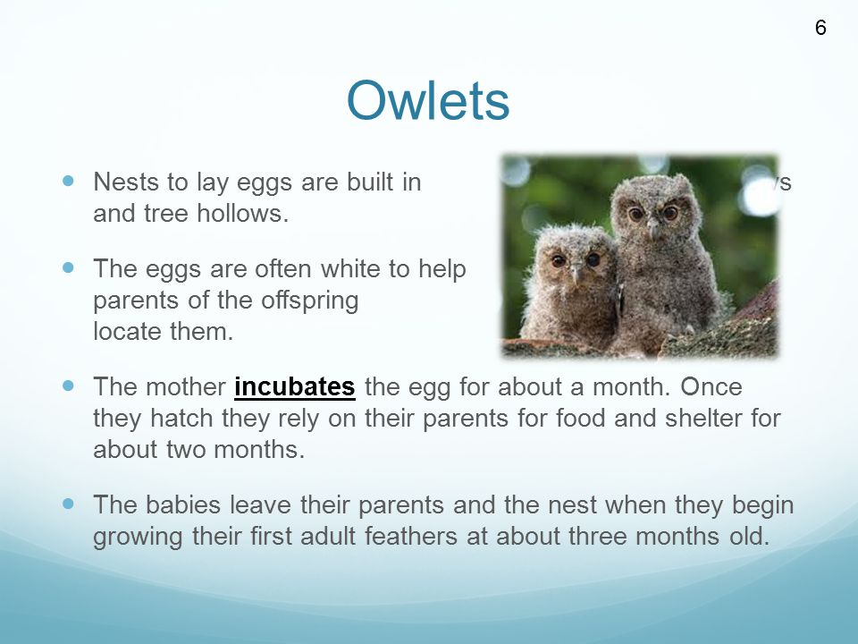 Owlets Nests to lay eggs are built in dark burrows and tree hollows.