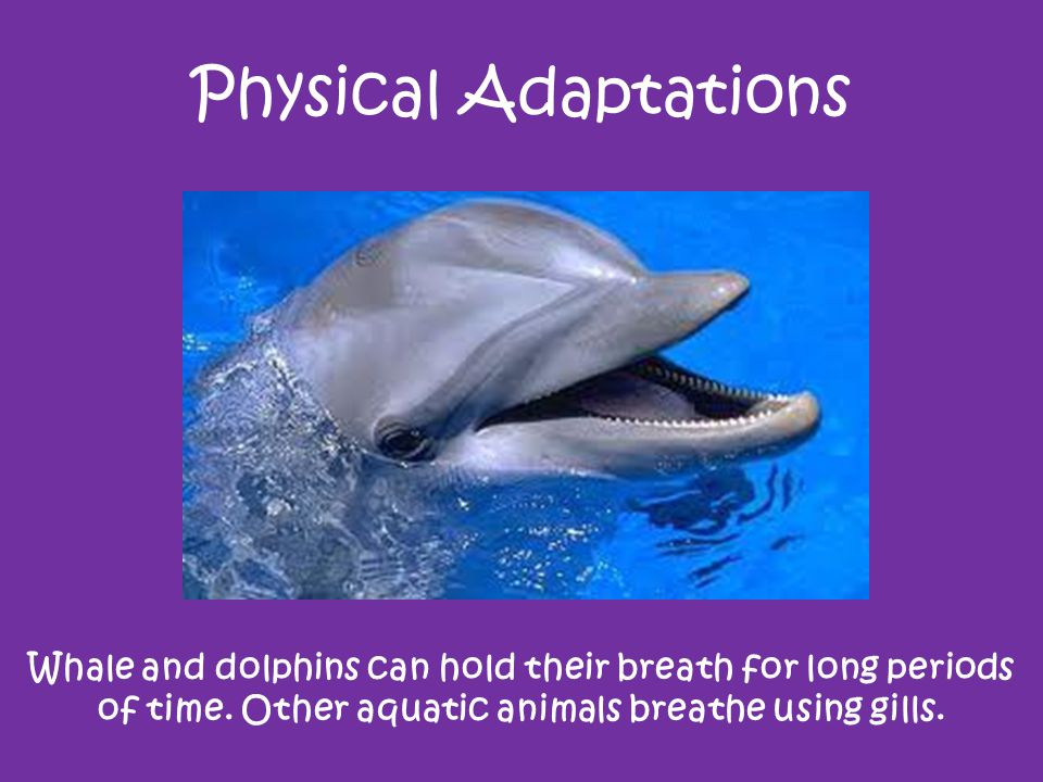 Physical Adaptations Whale and dolphins can hold their breath for long periods of time.