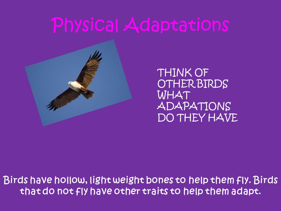Physical Adaptations THINK OF OTHER BIRDS WHAT ADAPATIONS DO THEY HAVE