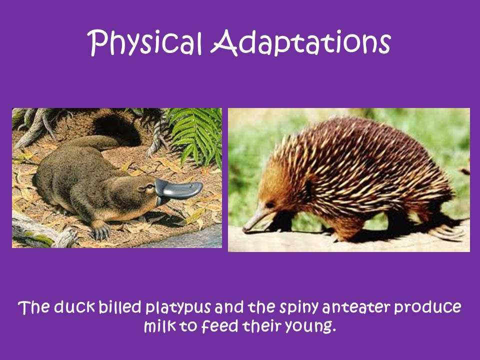 Physical Adaptations Ostriches can run very fast.