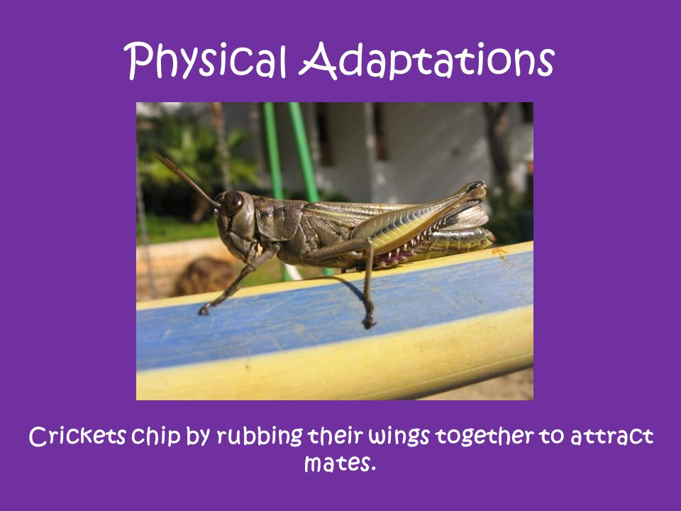 Crickets chip by rubbing their wings together to attract mates.