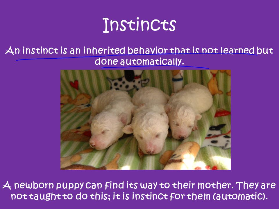 Instincts An instinct is an inherited behavior that is not learned but done automatically. Ostriches can run very fast.