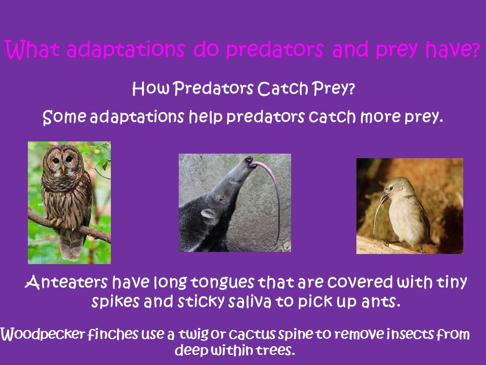 What adaptations do predators and prey have