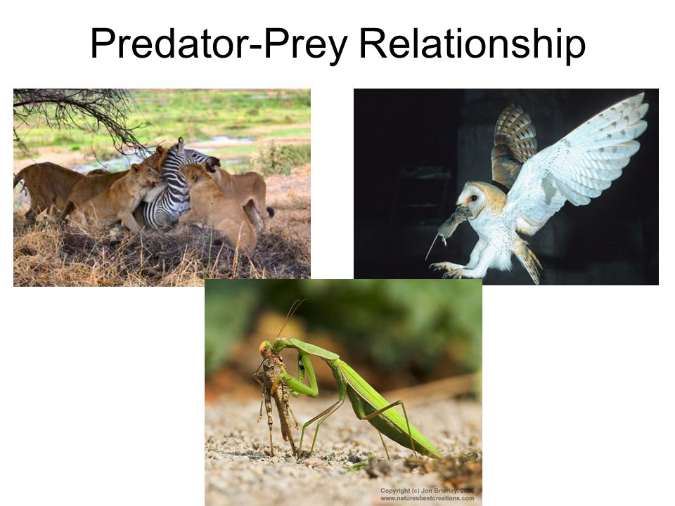 Predator-Prey Relationship
