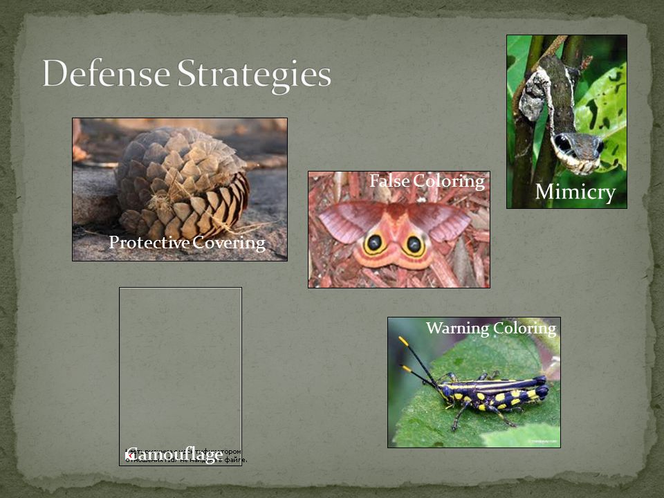 Defense Strategies Mimicry False Coloring Protective Covering