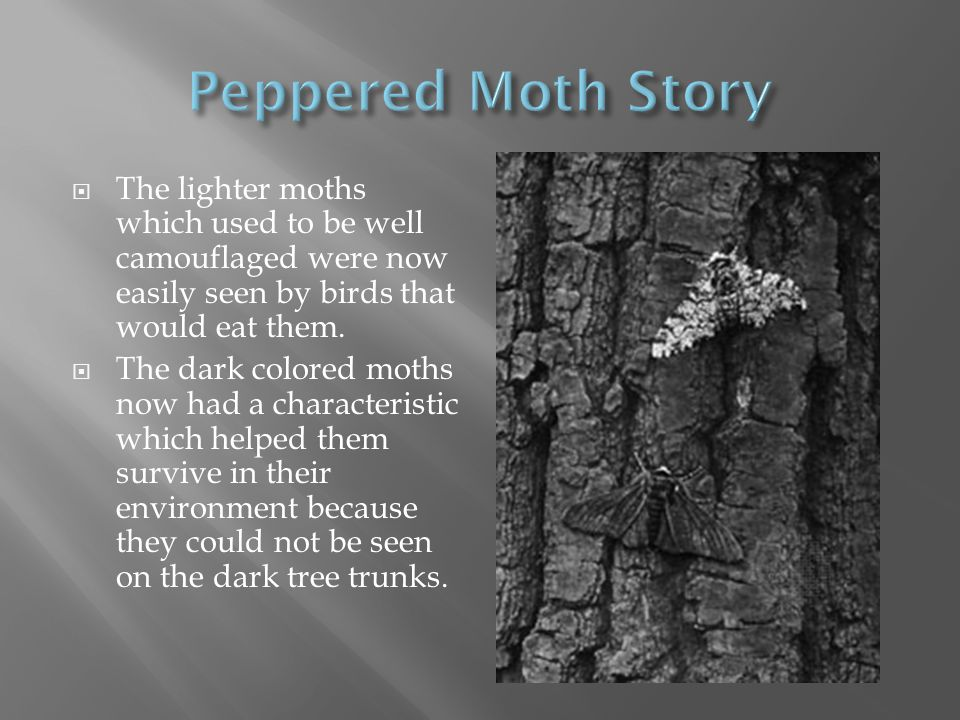 Peppered Moth Story The lighter moths which used to be well camouflaged were now easily seen by birds that would eat them.