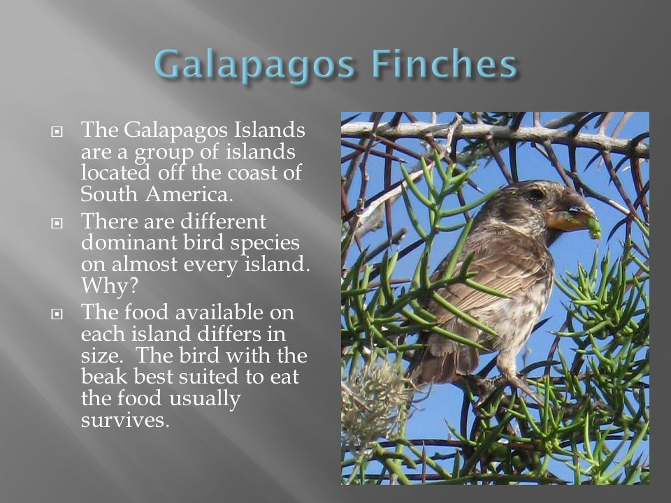 Galapagos Finches The Galapagos Islands are a group of islands located off the coast of South America.