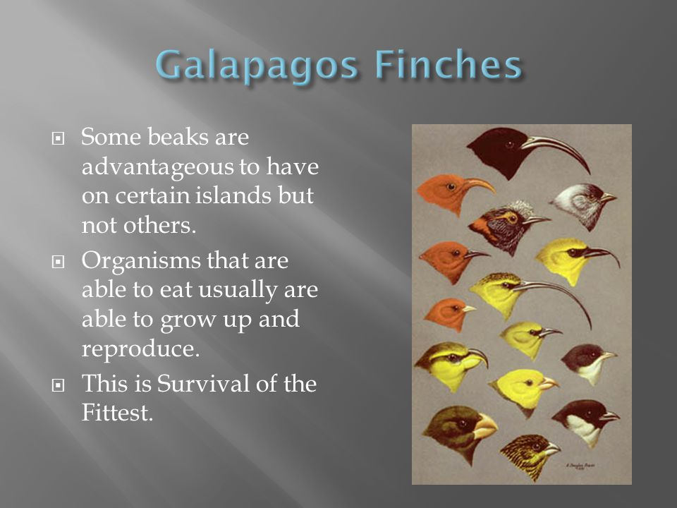 Galapagos Finches Some beaks are advantageous to have on certain islands but not others.
